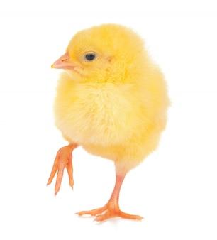 Schattige kleine kip geïsoleerd
