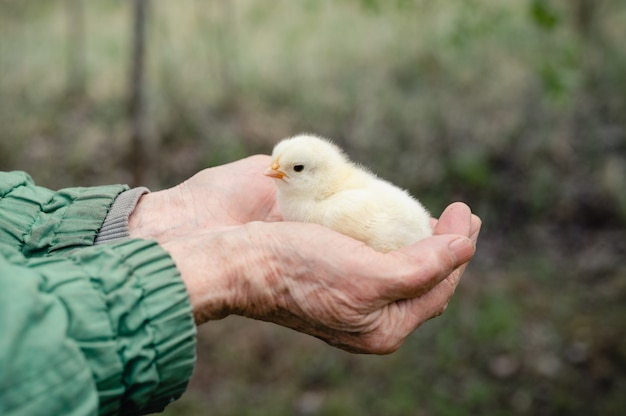 Schattige kleine kleine pasgeboren gele baby kuiken in handen van oudere senior boerin