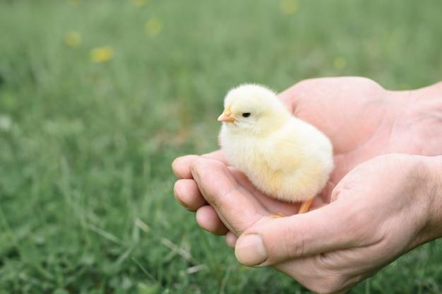 Schattige kleine kleine pasgeboren gele baby kuiken in mannelijke handen van boer op groen gras
