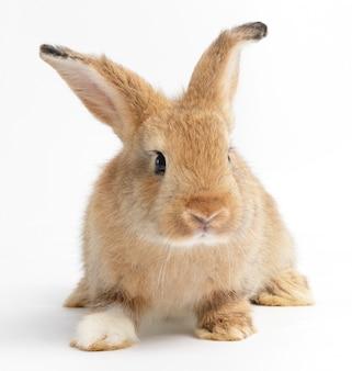 Schattige kleine konijn, bruin bont zittend op wit. pasen