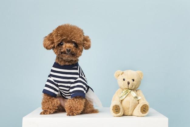 Schattige kleine poedel met speelgoed van een teddybeer op een blauwe muur