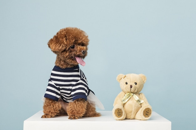 Schattige kleine poedel met speelgoed van een teddybeer op een blauwe ondergrond