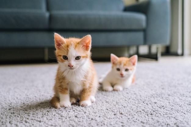 Schattige kleine rode kat verblijf op houten vloer met raam. jonge schattige kleine rode kat. het langharige spel van het gemberkatje thuis. leuke grappige huisdieren. huisdieren en jonge kittens