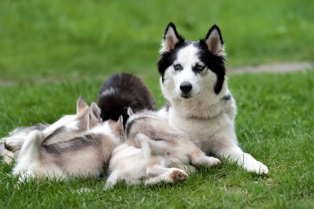 Schattige kleine siberische husky pup in gras