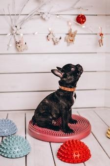 Schattige kleine zwarte franse bulldog in studio