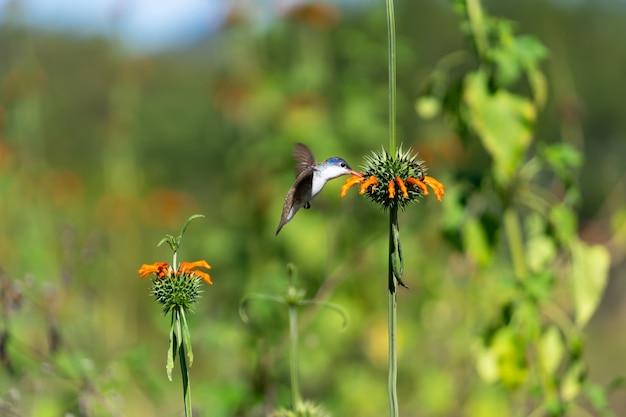 Schattige kolibrie die zich voedt met een klip dagga-bloem
