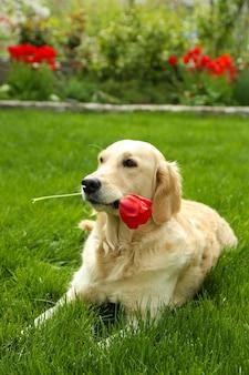 Schattige labrador liggend op groen gras, buitenshuis