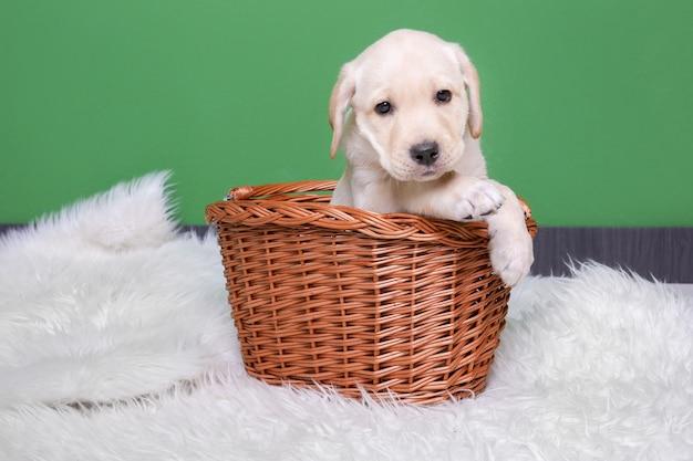 Schattige labrador retriever pup in rieten mand op pluizige plaid in de buurt van kleur muur