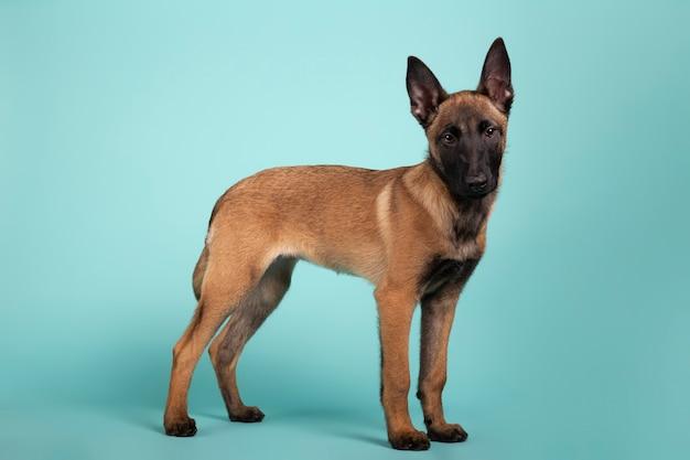 Schattige mechelse herder pup in profiel op zoek naar camera op een gekleurde achtergrond