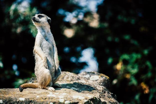 Schattige meerkat zittend op een rots
