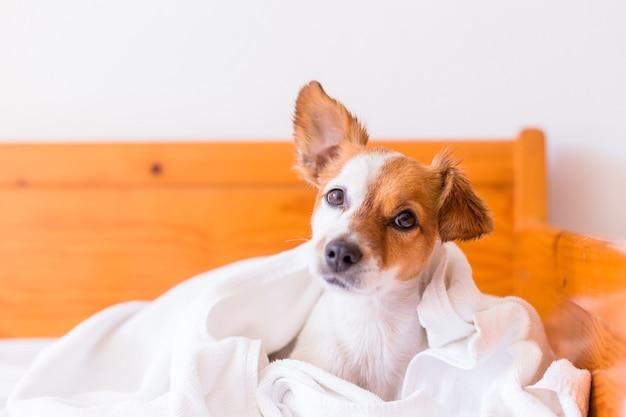 Schattige mooie kleine hond wordt gedroogd met een witte handdoek in de badkamer. huis. binnenshuis. Premium Foto