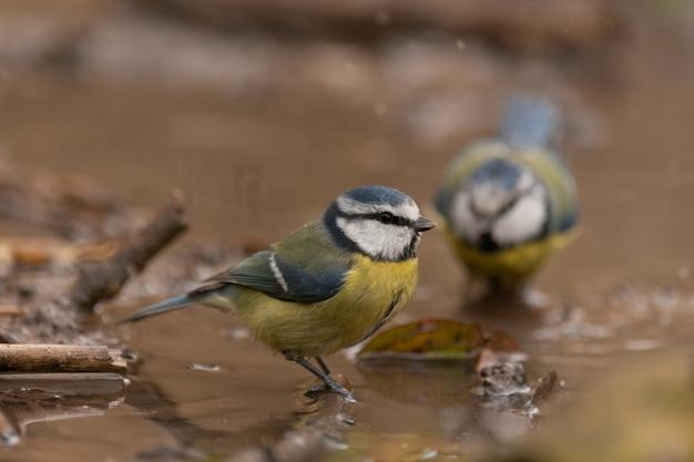 Schattige pimpelmeesvogel die in het vogelbad zwemt, laat het water sproeien.