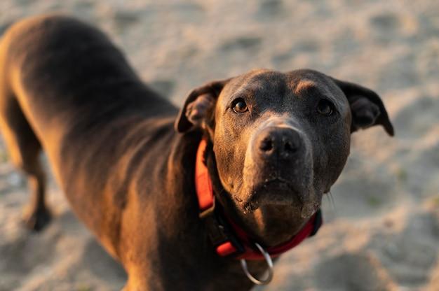 Schattige pitbullhond op het strand