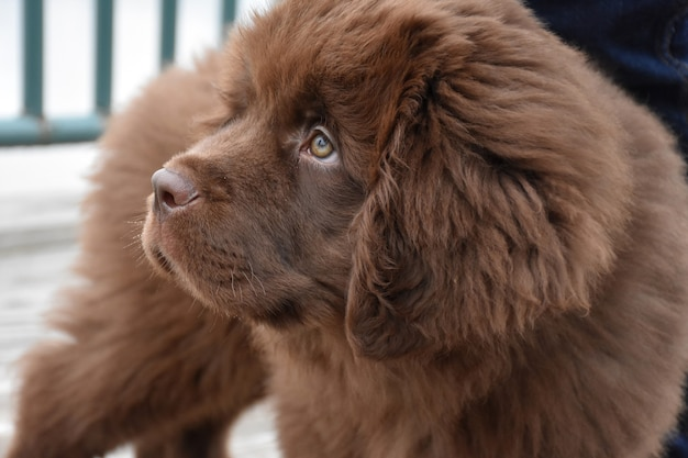 Schattige pluizige en harige bruine newfoundland puppyhond
