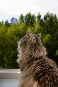Schattige pluizige grijze kat zittend op de vensterbank en wachten op iets. een harige dier kijkt uit het raam. concept-verwachting, verlangen naar vrijheid