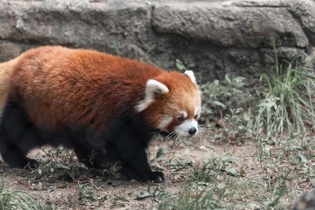 Schattige pluizige rode panda wandelen in het midden van het bos
