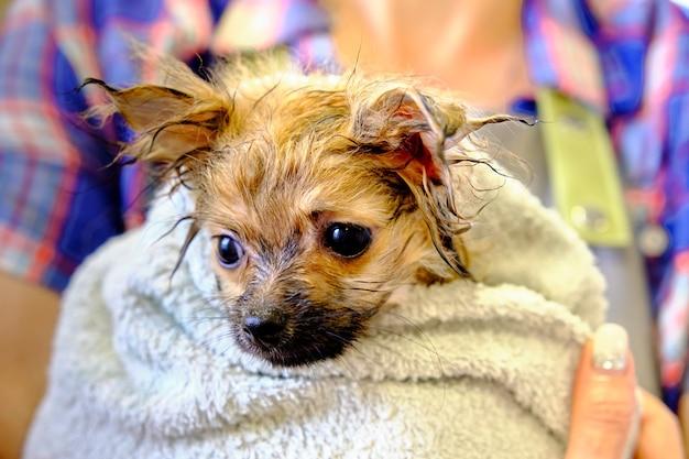 Schattige pomeriaan in een handdoek op de handen van vrouwen na het baden