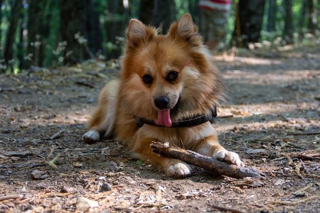 Schattige pommeren hond spelen met een stok in het bos. selectieve aandacht. ruimte kopiëren.
