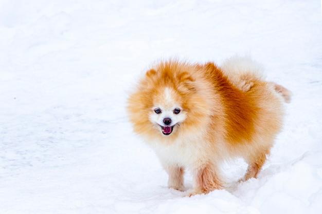 Schattige pommeren spitzcan op een besneeuwde winterwandeling. binnenlandse huisdier close-up. een pluizige oranje hond met een vosgezicht.