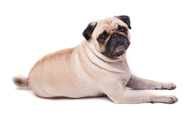 Schattige pug hond geïsoleerd op een witte muur