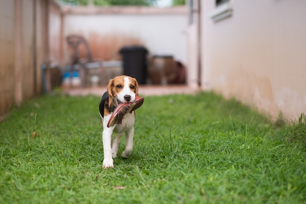 Schattige puppy beable runing op het gazon met schoenen