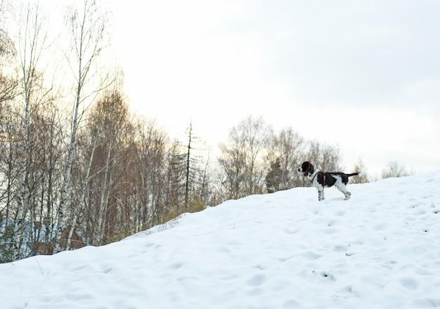 Schattige puppy engelse springerspaniël staan op de buitenlucht. wandelen