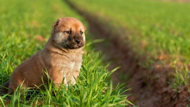 Schattige puppy hond in seoul, korea.