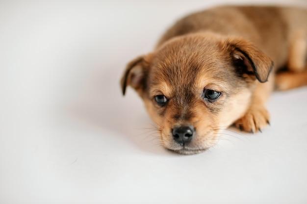 Schattige puppy ligt op een grijze achtergrond