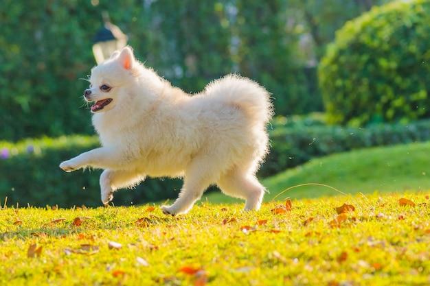 Schattige puppy pommeren hond loopt op het gras met geluk.