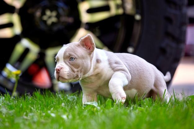 Schattige puppy spelen op het gras op de achtergrond van de auto. concept van de eerste levensstappen, dieren, een nieuwe generatie. puppy amerikaanse stier.