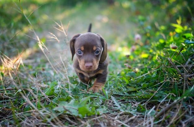Schattige puppy van het teckelras van koffiekleur loopt op het gras
