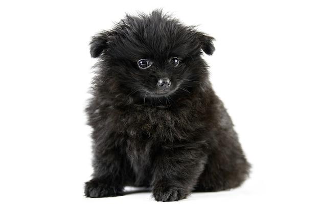 Schattige puppy van pommeren spitz