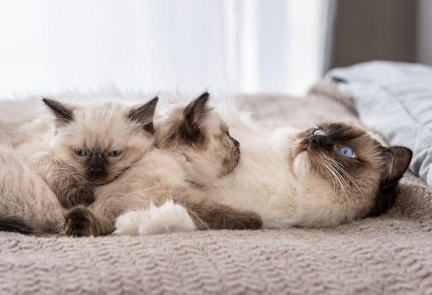 Schattige ragdoll kat liggend in het bed aan de achterkant en twee schattige pluizige kittens die op haar slapen. katachtige rassenfamilie die thuis dutten met daglicht. moederhuisdier en haar katkinderen die samen rusten