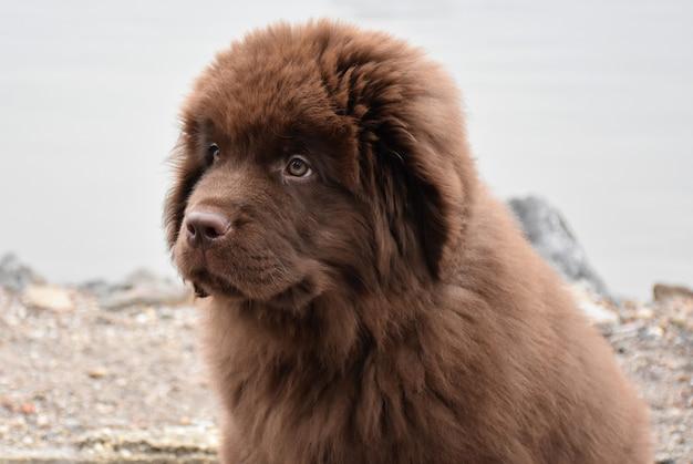 Schattige rasechte bruine newfie puppyhond aan de waterkant