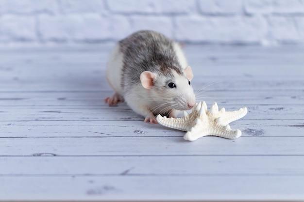 Schattige rat snuift een witte zeester