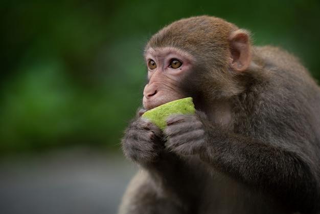 Schattige resusaap (macaca mulatta) aap aan het eten