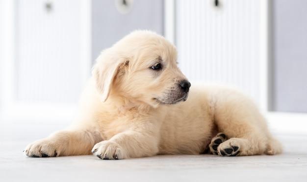 Schattige retriever pup liggend op de vloer in de kamer
