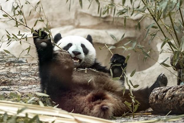 Schattige reuzenpandabeer eet bamboe liggend op zijn rug