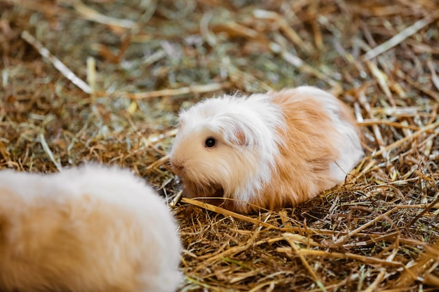 Schattige rode en witte cavia close-up