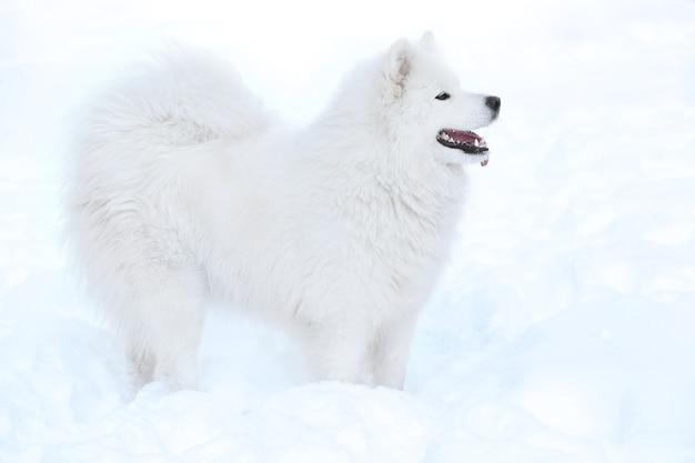 Schattige samojeed hond buiten op winterdag