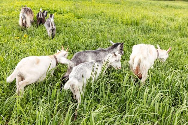 Schattige scharrelgeiten op biologische natuurlijke eco-dierenboerderij die vrij grazen op de achtergrond van de weide. binnenlandse geit grazen kauwen in de wei. moderne dierlijke veeteelt, ecologische landbouw. dierenrechten.