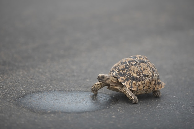 Schattige schildpad die overdag op het asfalt loopt
