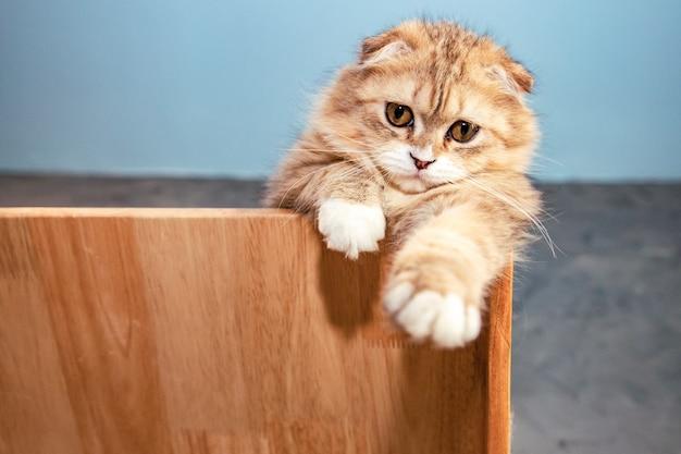 Schattige scottish fold bruine kat verborgen achter houten muur in de buurt van betonnen muur en camera kijken
