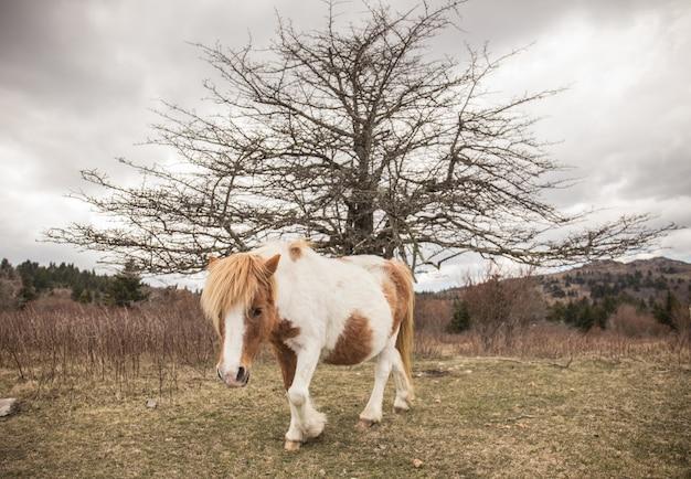 Schattige shetland pony met een geïsoleerde kale boom