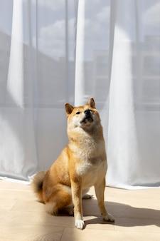 Schattige shiba inu-hond binnenshuis