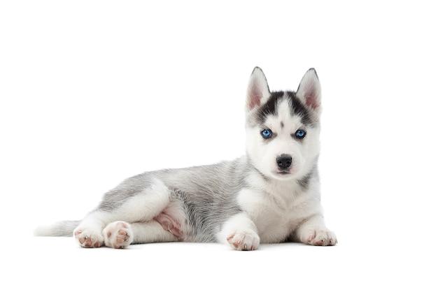 Schattige siberische husky pup liggend op de vloer