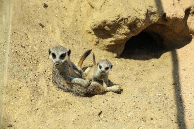 Schattige stokstaartjes in behuizing in dierentuin op zonnige dag