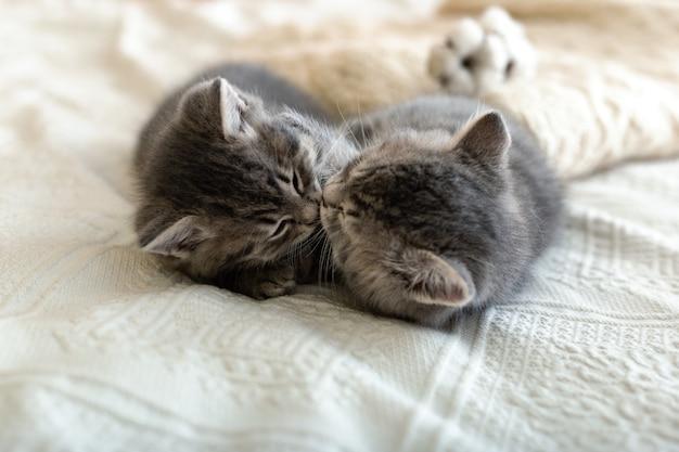 Schattige tabby kittens slapen knuffelen kussen op witte plaid in de buurt van gebreide warme trui, natuurlijke katoenen bloemen. gezellig huis love