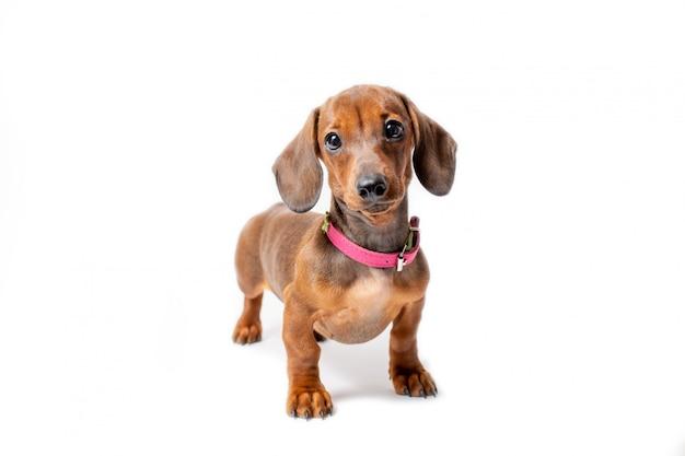 Schattige teckel puppy