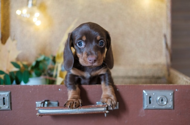 Schattige teckelpuppy in een koffer